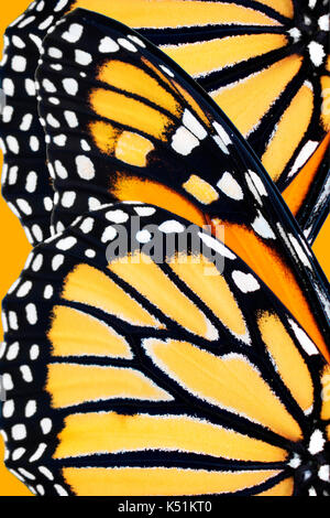 Monarch butterfly (Danaus Plexippus) wing pattern close up. - Stock Photo