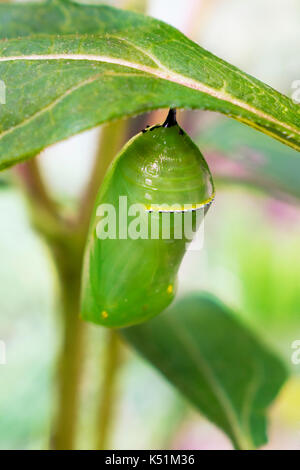 Chrysalis Monarch Butterfly Danaus plexippus hanging from plant close up. - Stock Photo