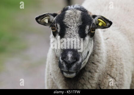 Close up of a sheep and its head with identification tags in its ears - Stock Photo
