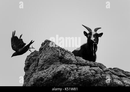 Black bird flying off a cliff with a black and white goat - Stock Photo