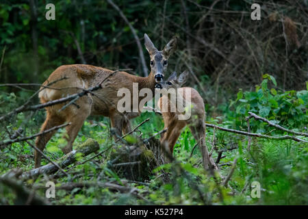 Female roe deer (Capreolus capreolus) with her young in Bialowieza National Park. July, 2017. - Stock Photo