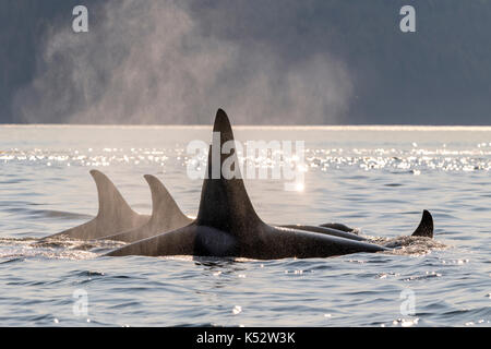 A family pod of northern resident killer whales travelling in Johnstone Strait in early evening off Vancouver Island, - Stock Photo