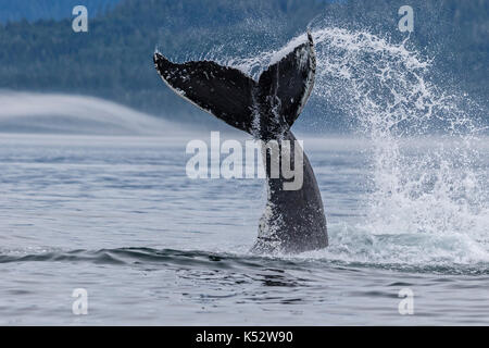 Humpback whale splashing with its tail in Queen Charlotte Strait off northern Vancouver Island, British Columbia, - Stock Photo
