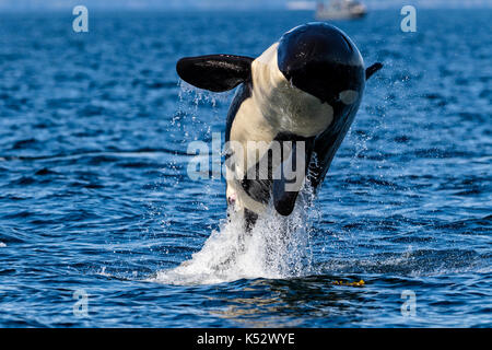 Northern resident killeer whale breaching in front of Swanson Island off Northern Vancouver Island, British Columbia, - Stock Photo