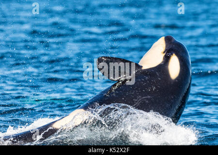 Northern resident killer whale breaching with open eye in front of Swanson Island off Northern Vancouver Island, - Stock Photo