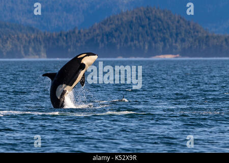 Northern resident killer whale breaching in front of Swanson Island off Northern Vancouver Island, British Columbia, - Stock Photo