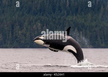 Female killer whale breaching in Johnstone Strait off Vancouver Island, British Columbia, Canada. - Stock Photo
