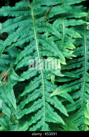Licorice ferns (Polypodium glycyrrhiza) on Founders Trail, Collins Sanctuary, Portland, Oregon - Stock Photo