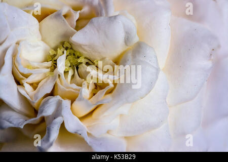 Focus stacked photograph of a white, yellow and green rose flower, showing petals, closeup macro - Stock Photo