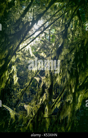 Closeup of moss covered tree branches glowing in sunlight in a dark forest . Vancouver Island, British Columbia, - Stock Photo
