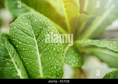 Fresh Leaf of Green Cos with Droplet and Sunlight in Hydroponic Vegetable Organic Farm or Garden, Ready to pick, - Stock Photo