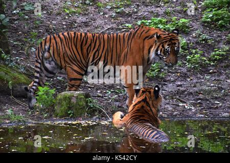 two panthera Tigris Tigris in a zoological garden in Bavaria, royal tiger, female and male of a tiger - Stock Photo