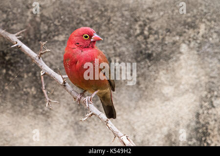Red-billed fire finch - Stock Photo