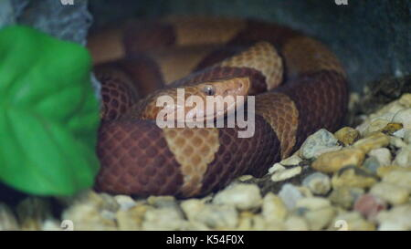 snakes in animal kingdom, a variety of venomous species that will surprise you by its beauty - Stock Photo