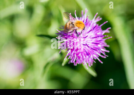 Common Carder Bee close up on beautiful Centaurea Scabiosa Knapweed flower - Stock Photo