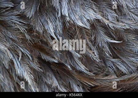 Grey feathers of a greater rhea, Nandu, Rhea americana, flightless bird in Bavaria, fluffy and tattered-locking - Stock Photo