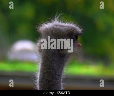 head portrait behind from an ostrich bird, close up of a struthio camelus male, ostrich or common ostrich - Stock Photo