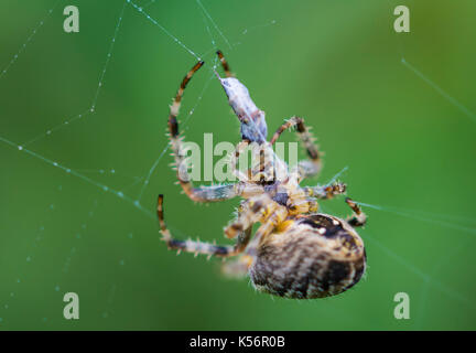 Araneus Diadematus (European Garden Spider, Diadem Spider, Cross Spider), an Orb Weaver spider eating prey in a - Stock Photo