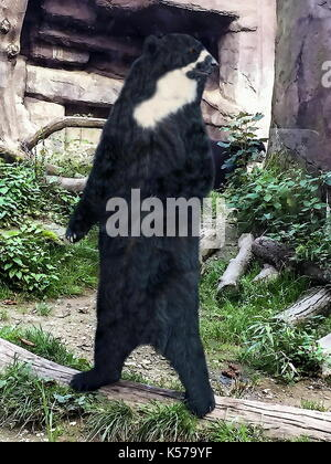 European black bear standing on its hind legs and scanning its surroundings - Stock Photo