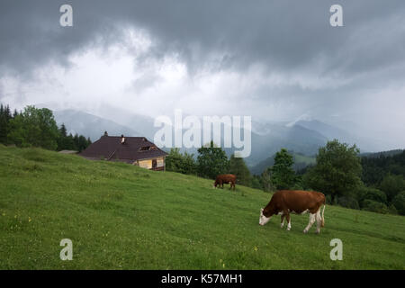 Cows on green pasture in mountains. Beauty view on green forest and blue hills - Stock Photo