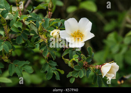 A dog rose (Rosa canina) in flower - Stock Photo