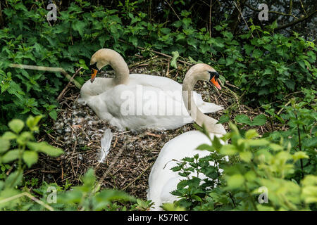 A pair of mute swans (Cygnus olor) nesting - Stock Photo