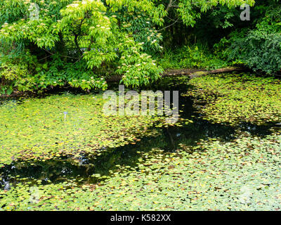 Water Lilly's, Chinese Hillside, Royal Botanic Garden Edinburgh, Edinburgh, Scotland - Stock Photo