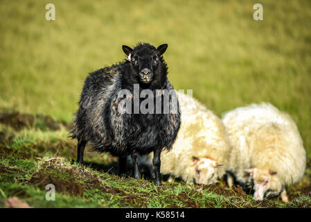 Black and white sheep grazing on a pasture in Iceland on a sunny day - Stock Photo