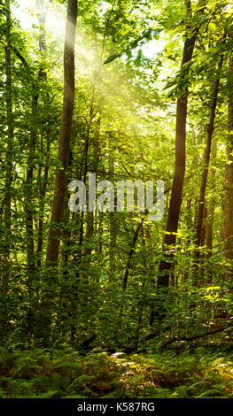 Golden sun rays passing through the trees during an early morning in the forest - Stock Photo