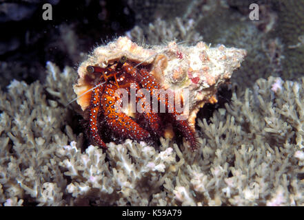 White Spotted Hermit Crab, Dardanus megistos, Sabah, Borneo, in shell - Stock Photo