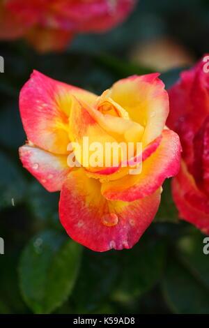Red-orange noble rose with morning dew  I  Rot-orange  Edelrose - Stock Photo