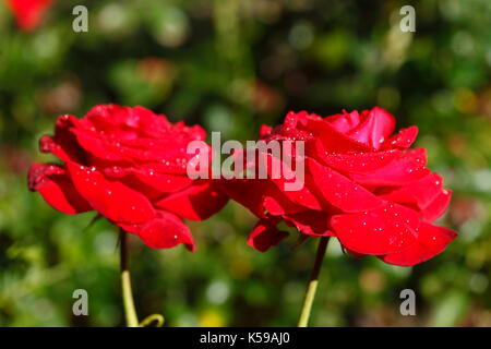 Red noble roses with morning dew  I  Rote Edelrosen - Stock Photo