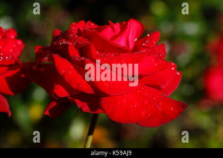 Red noble rose with morning dew  I  Rote Edelrose - Stock Photo