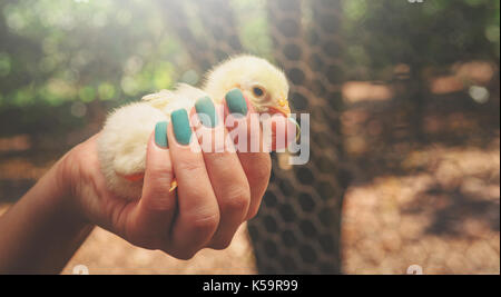 Woman's hand holding a yellow chick. Young chickens baby with soft yellow feathers on a females hand. - Stock Photo