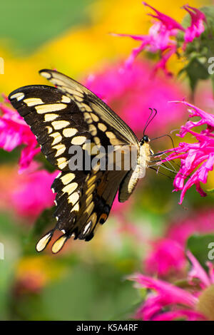 Giant Swallowtail Butterfly (Papilio cresphontes) close up on pink flower in summer garden habitat. - Stock Photo