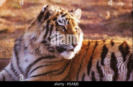 Siberian Tiger on a reserve in Limpopo Province, South Africa - Stock Photo