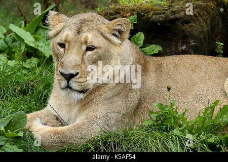 Benmo (male lion), Heidi, Indi and Rubi, the Asiatic lions at London Zoo celebrates World Lion Day (Thursday 10 - Stock Photo