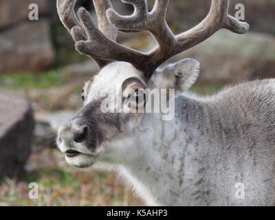 Svalbard reindeer portrait - Stock Photo