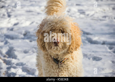 Labradoodle playing in backyard in snow - Stock Photo
