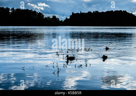 Silhouette of ducks swimming in a placid lake - Stock Photo