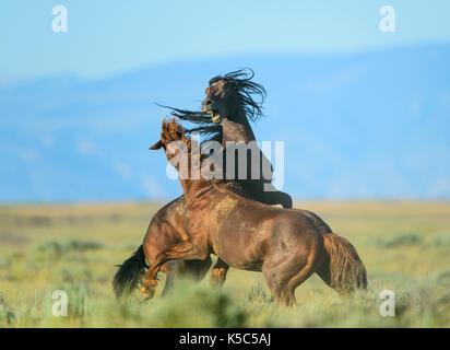 Wild Horse Stallions Fighting (Equus ferus), Western US - Stock Photo