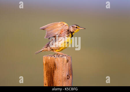 Western Meadowlark  Sturnella neglecta  Pawnee National Grasslands, Colorado, United States 6 July 2017      Adult - Stock Photo