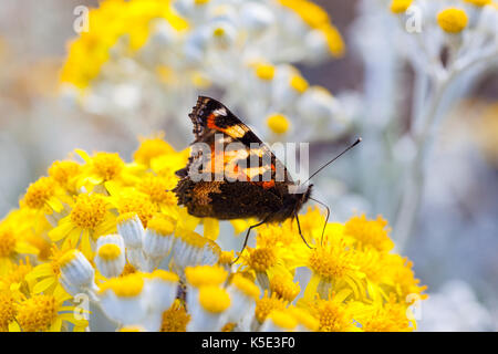 Small Tortoiseshell Butterfly with it's wings half open sitting on a  Dusty Miller plant - Stock Photo