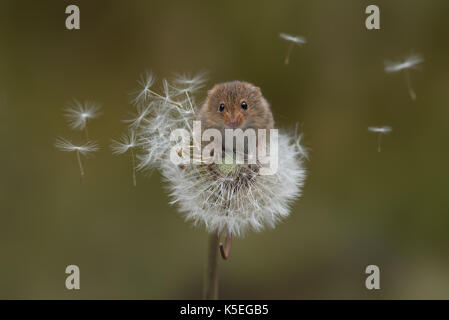A harvest mouse balances precariously on a dandelion clock with the seeds blowing in the wind - Stock Photo