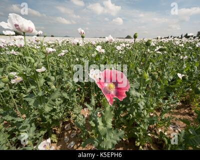 White poppy flower in the blossom, some green poppy heads. Filed with green poppy heads in background. Papaver somniferum - Stock Photo