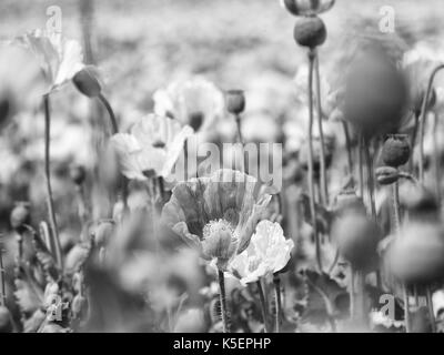 Poppies on sunny day. White pink poppy flower hybrids in large field. Beautiful poppy freshness. - Stock Photo