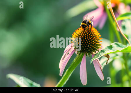 Flowers of Echinacea purpurea and bumblebee - Stock Photo