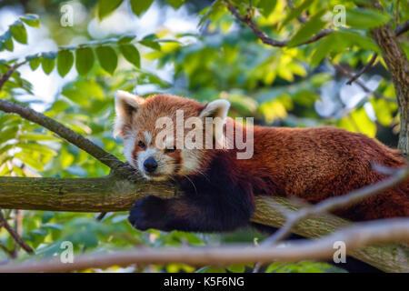 Cute red panda or Ailurus fulgens on tree - Stock Photo