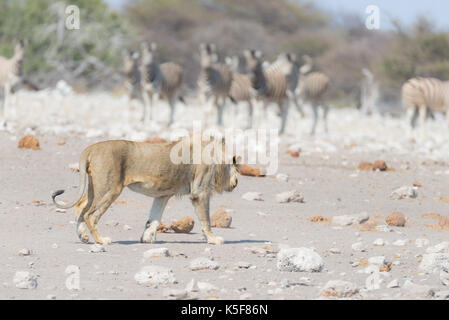 Young male Lion, ready for attack, walking towards herd of Zebras running away, defocused in the background. Wildlife - Stock Photo