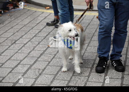 London, UK. 9th Sept, 2017. A dog wears a kerchief decorated with EU stars, during the People's March for Europe, - Stock Photo